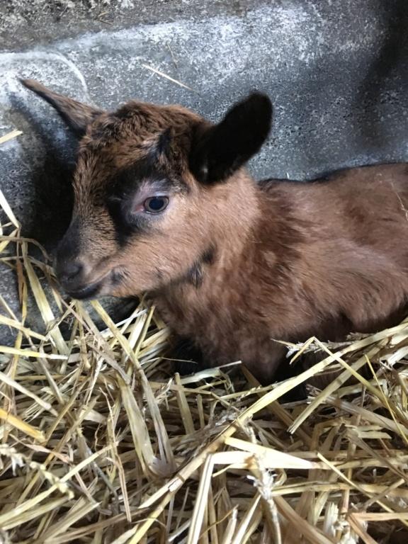 IDEM - Chèvre réformée d'élevage 674b2410