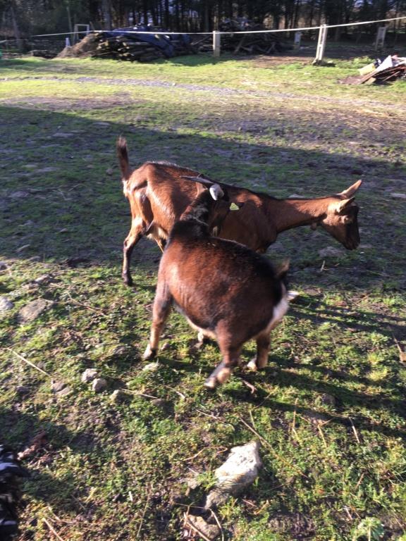 IDEM - Chèvre réformée d'élevage 6af8a110