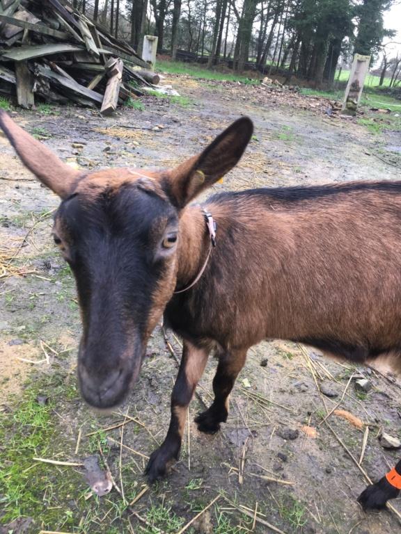 IDEM - Chèvre réformée d'élevage 7200f910