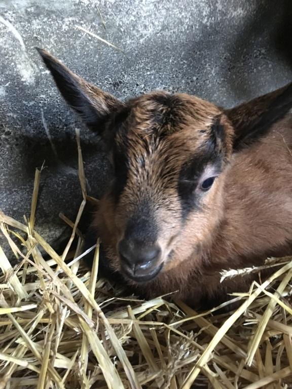 IDEM - Chèvre réformée d'élevage 77347010
