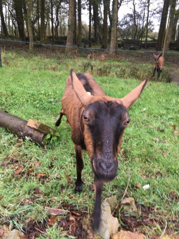 IDEM - Chèvre réformée d'élevage 7802d010