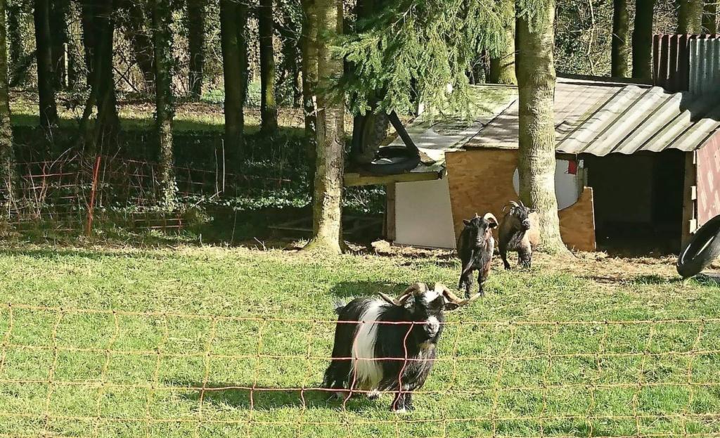 DAHU (bouc nain) & HESTIA (Chèvre semi naine) -  ARTEMIS DCD 7de03710