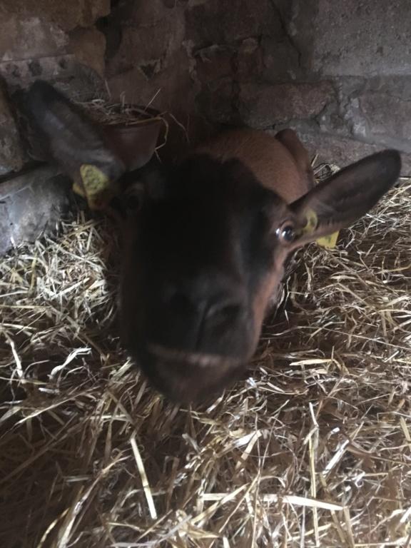 IDEM - Chèvre réformée d'élevage - Page 2 8b7da710
