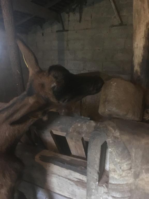 IDEM - Chèvre réformée d'élevage 92b69210
