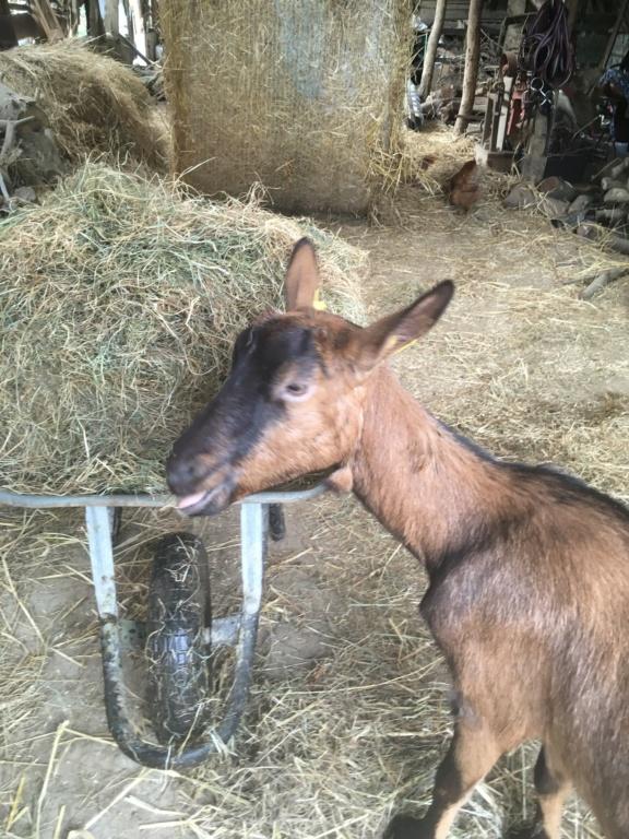 IDEM - Chèvre réformée d'élevage B143fd10