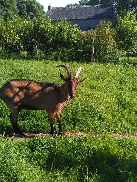 ARLEQUIN & JALLY - Bouc alpin et chèvre semi naine B8390310