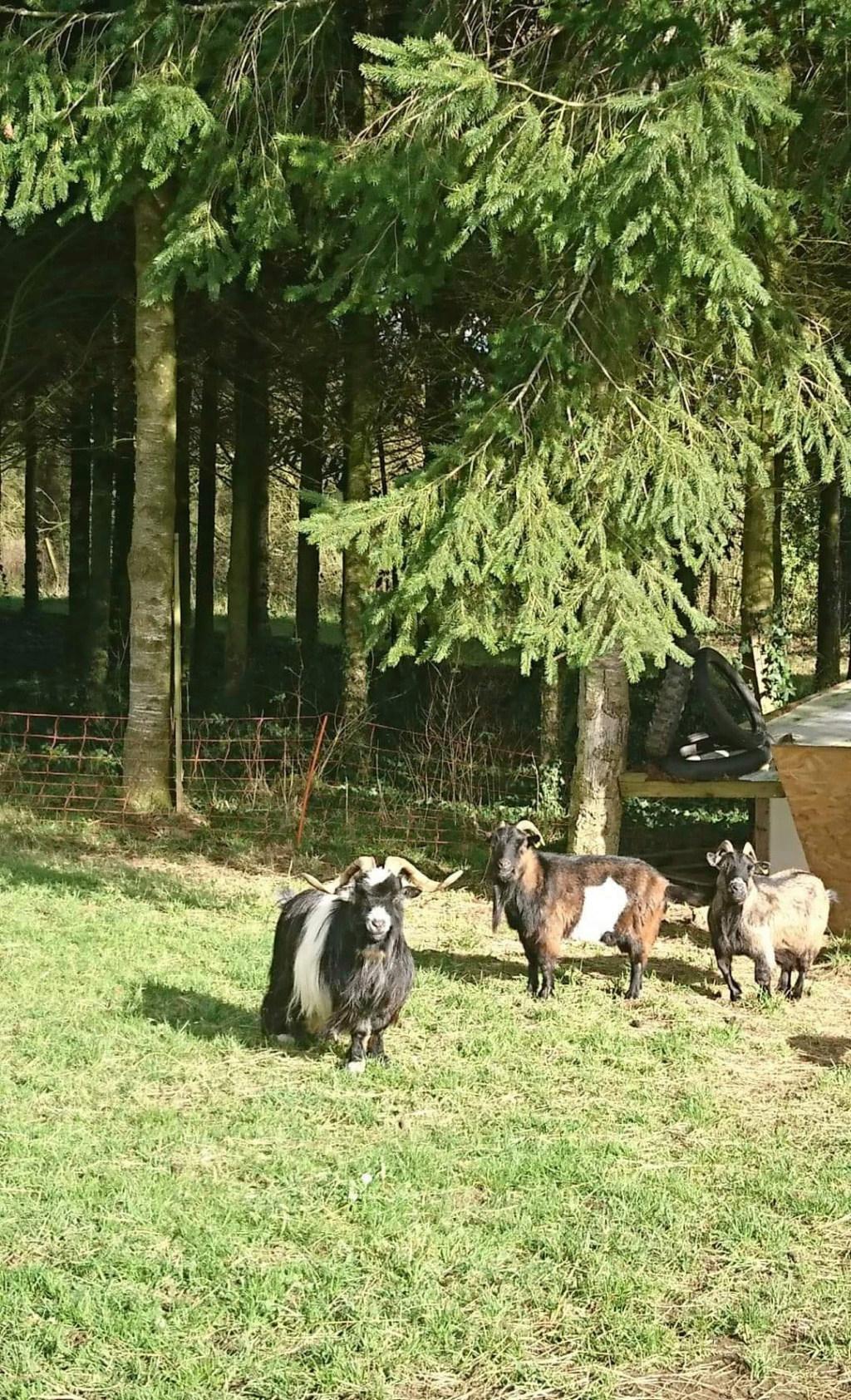 DAHU (bouc nain) & HESTIA (Chèvre semi naine) -  ARTEMIS DCD Ba6efa10