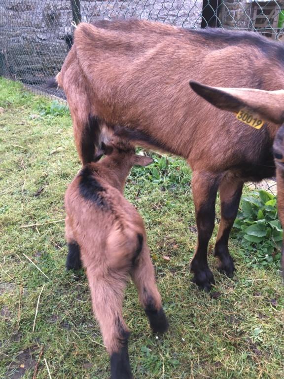 IDEM - Chèvre réformée d'élevage Bc49ba10