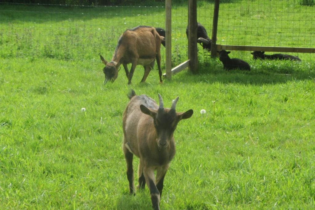 PRUNELLE - Fille d'Innocente (Réformée d'élevage) Be638910