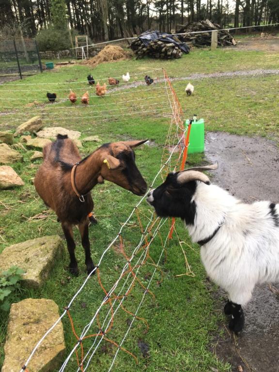 IDEM - Chèvre réformée d'élevage D0b31010