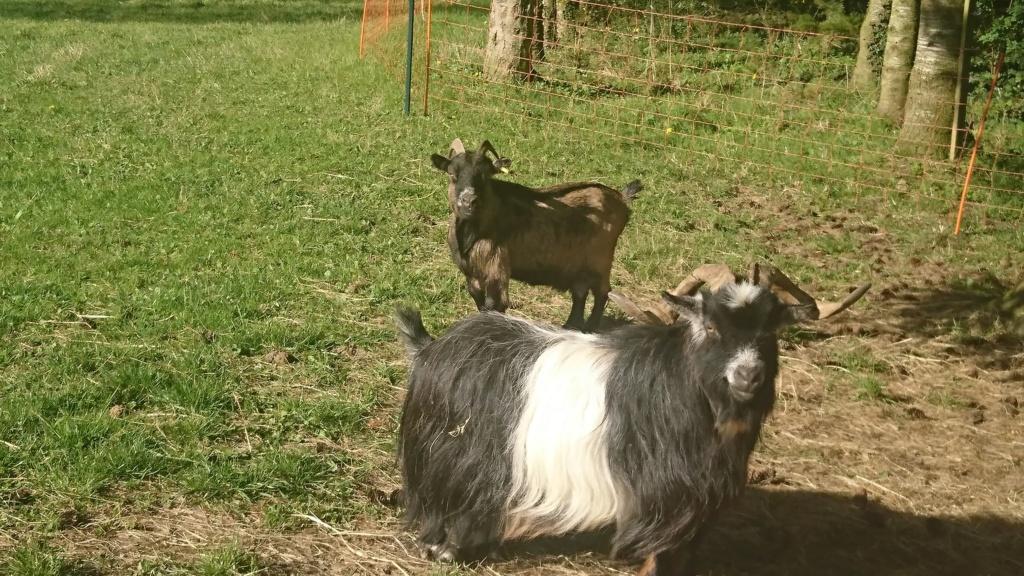 DAHU (bouc nain) & HESTIA (Chèvre semi naine) -  ARTEMIS DCD D4048310