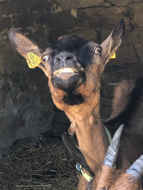 IDEM - Chèvre réformée d'élevage - Page 2 D657c310