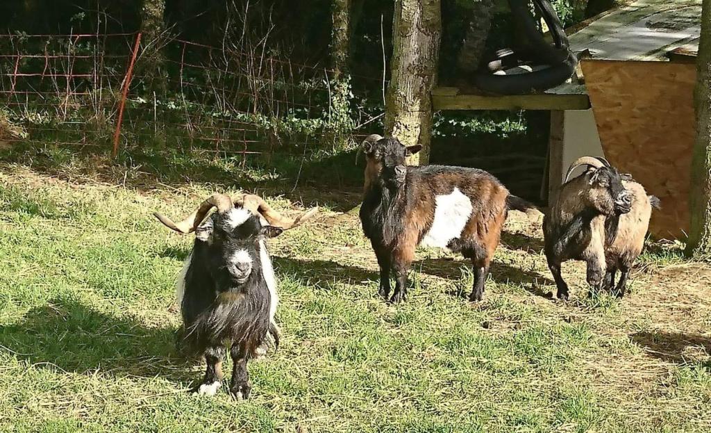 DAHU (bouc nain) & HESTIA (Chèvre semi naine) -  ARTEMIS DCD D70a0c10