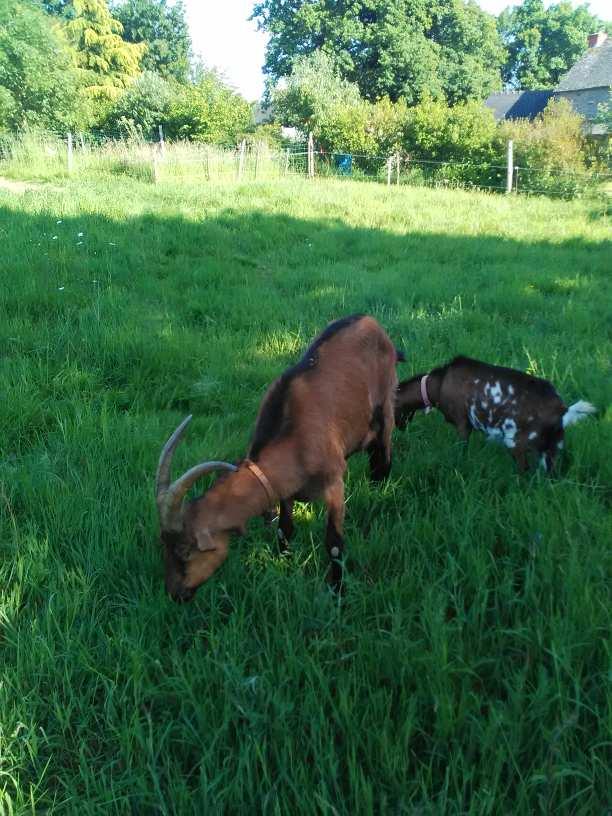 ARLEQUIN & JALLY - Bouc alpin et chèvre semi naine F882d410