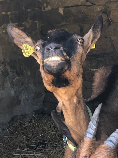 IDEM - Chèvre réformée d'élevage - Page 2 Fa0b6210