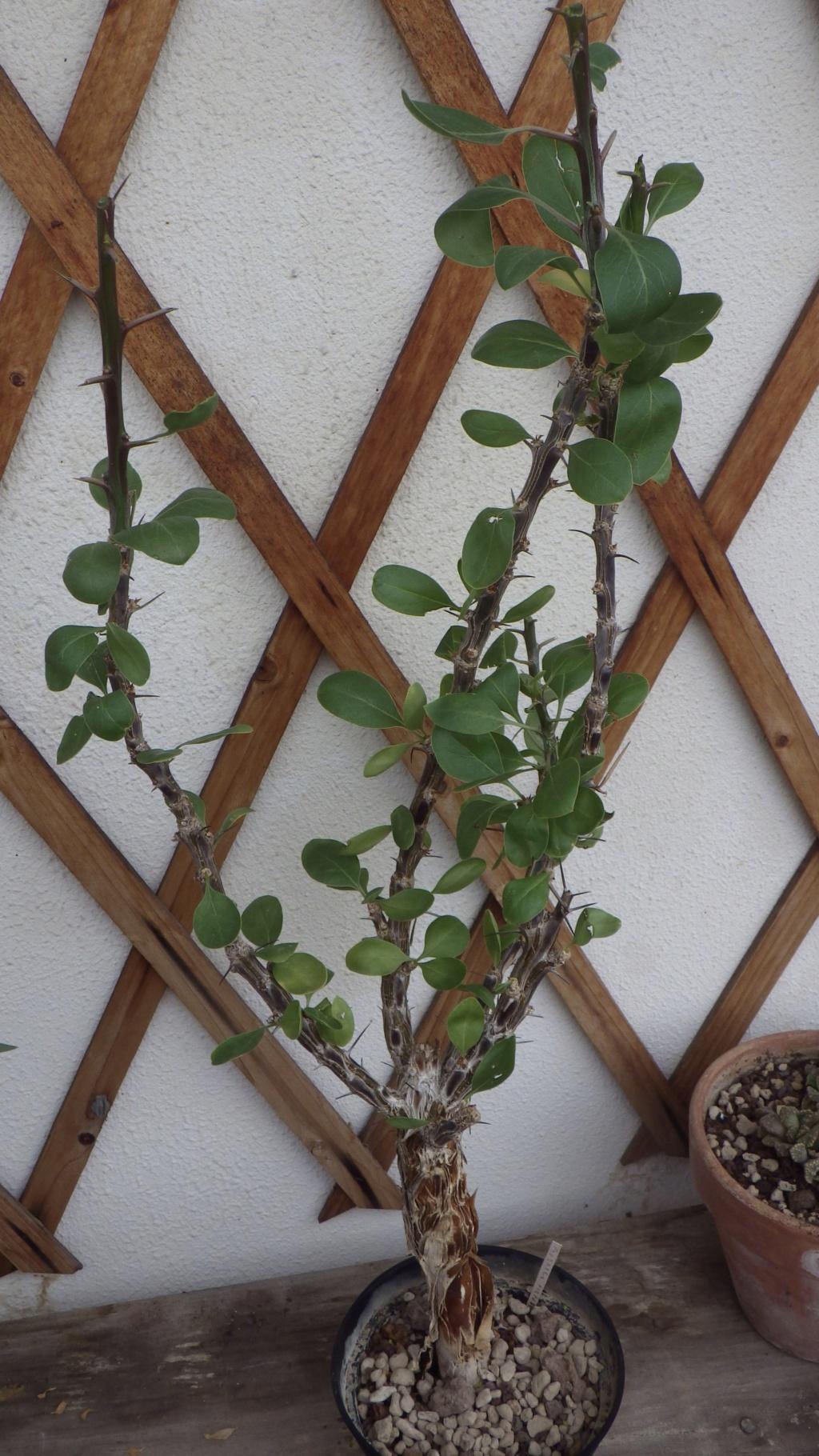 Fouquieria splendens Fullsi21