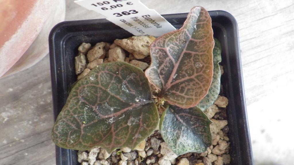 Euphorbia francoisii - Page 18 Imgp1221