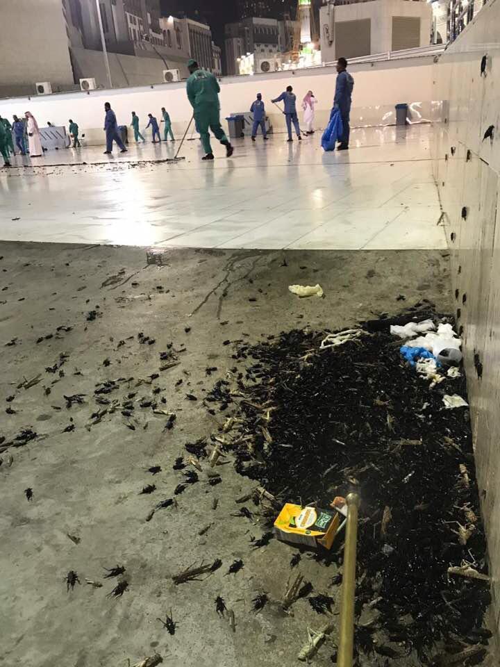 الملايين من الصراصير تنتشر حول المسجد الحرام والمسجد النبوي ويعطل الصلاة لأول مرة Eeeoee80