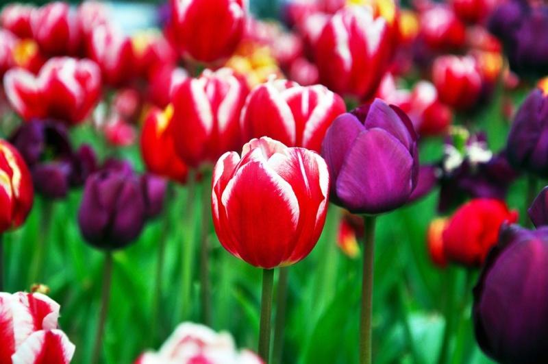 Vos plantes, fleurs, jardin !  - Page 23 Tulip-10