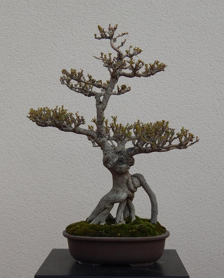 Adelfa como bonsái (Nerium oleander) 11061710