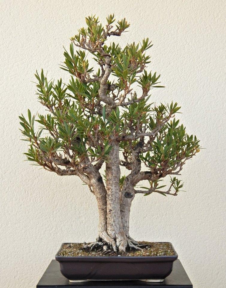 Adelfa como bonsái (Nerium oleander). 11224210