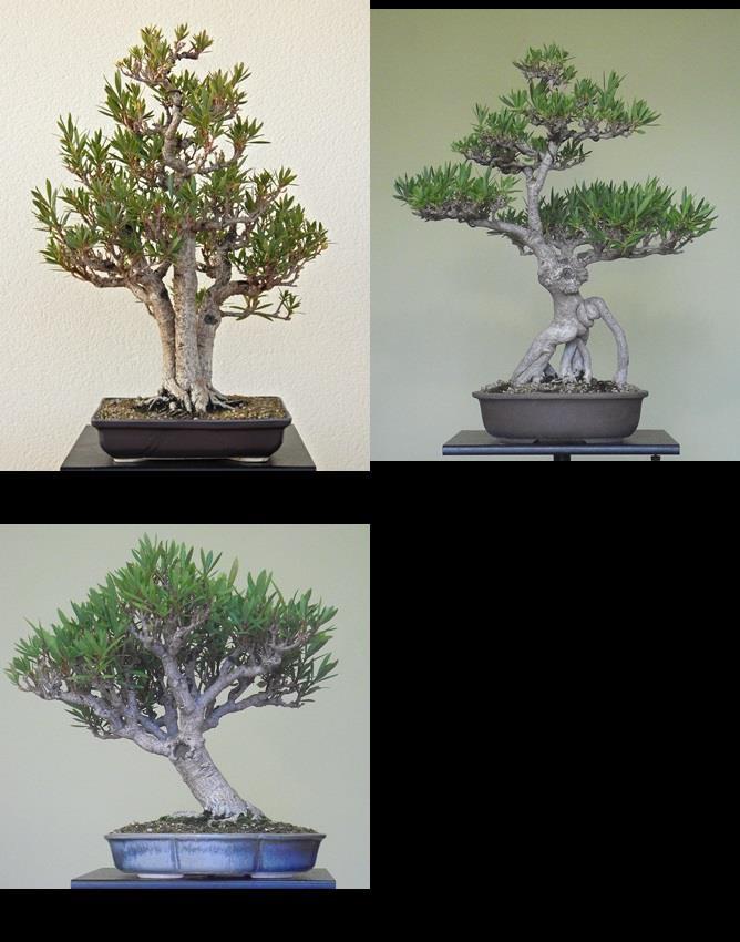 Adelfa como bonsái (Nerium oleander). 12006010