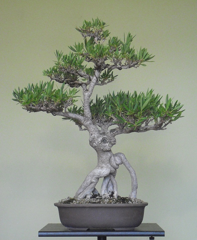 Adelfa como bonsái (Nerium oleander). 12032010