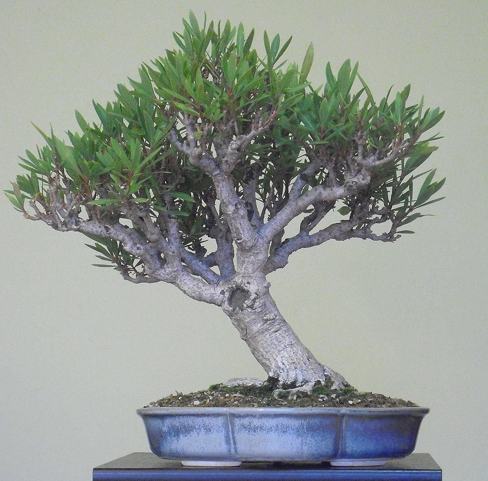 Adelfa como bonsái (Nerium oleander). 12046610