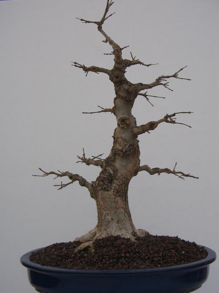 Fresno (Fraxinus excelsior L.) 15515_10