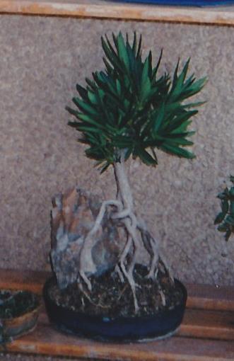 Adelfa como bonsái (Nerium oleander) 18206710