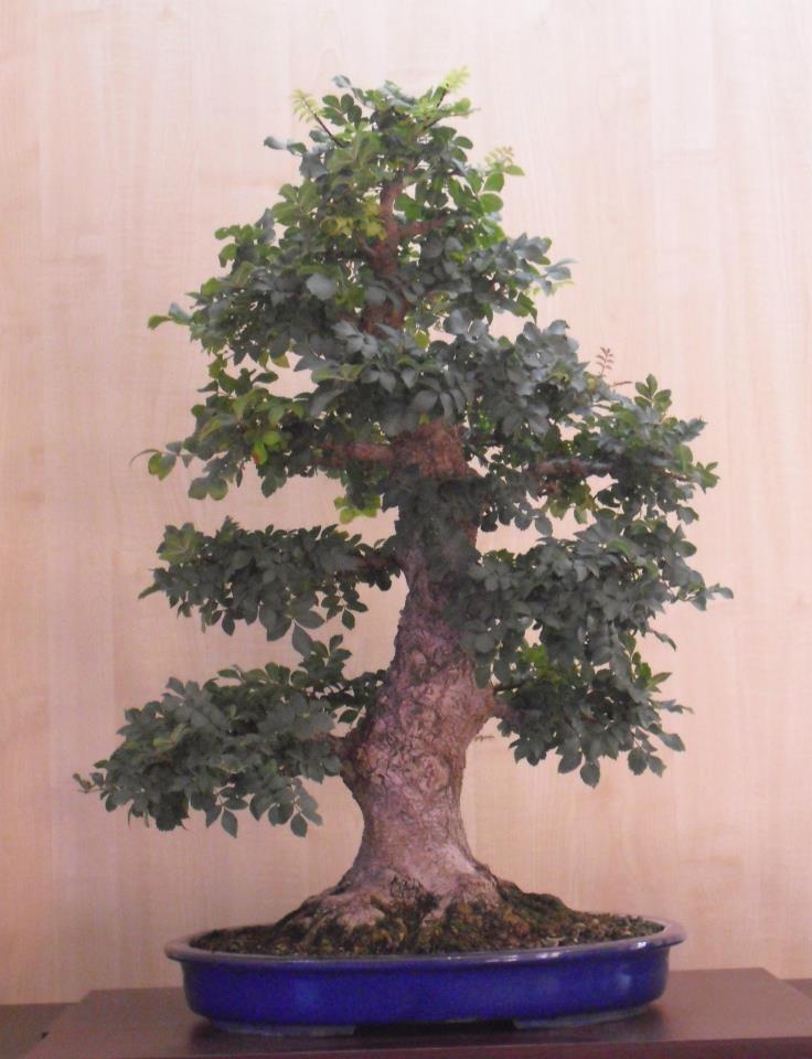 Fresno (Fraxinus excelsior L.) 20003310