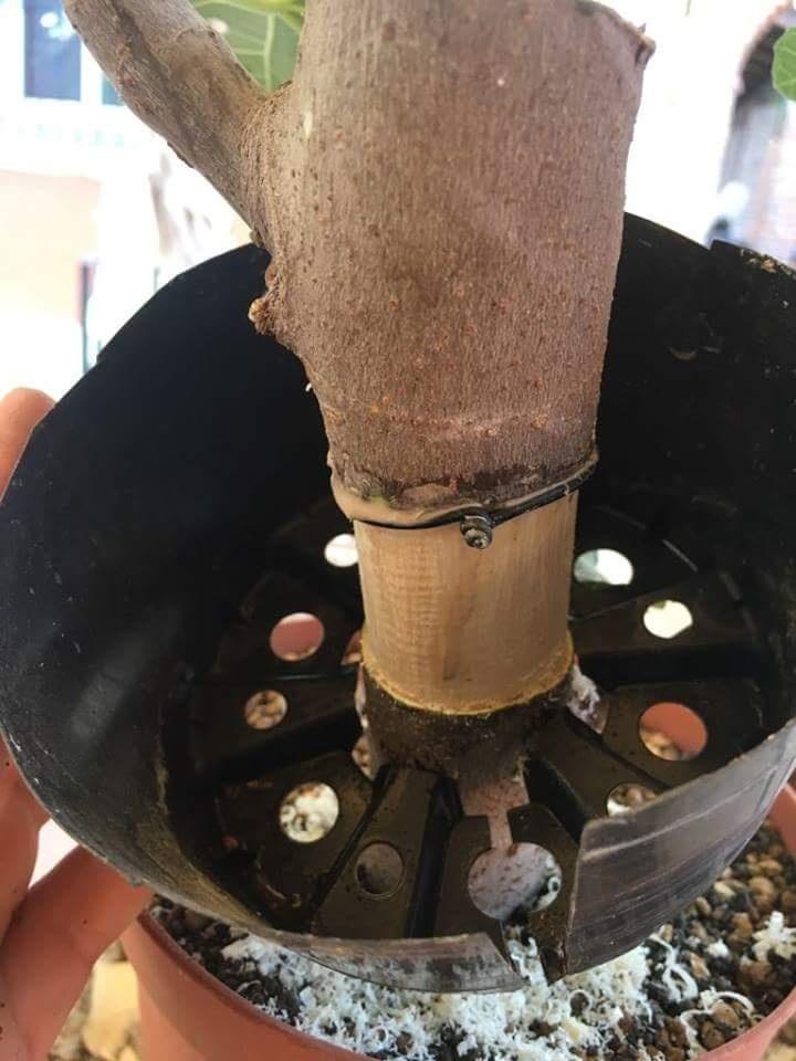 Esquejito de higuera (Ficus Carica) 20180828
