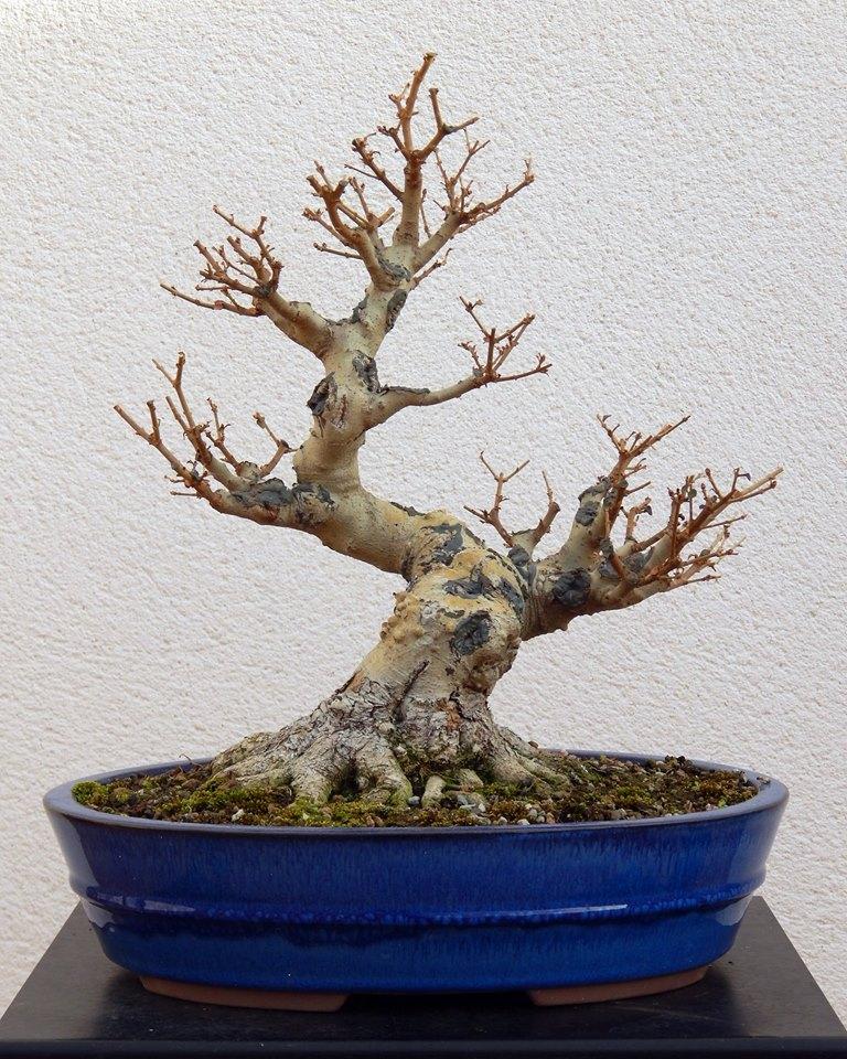 Ligustrum ovalifolium/ Aligustre de California, Oliveta 38128310
