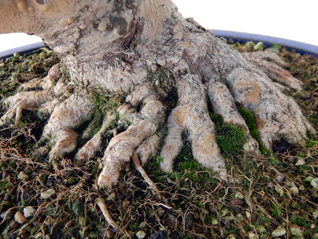 Ligustrum ovalifolium/ Aligustre de California, Oliveta 38252610