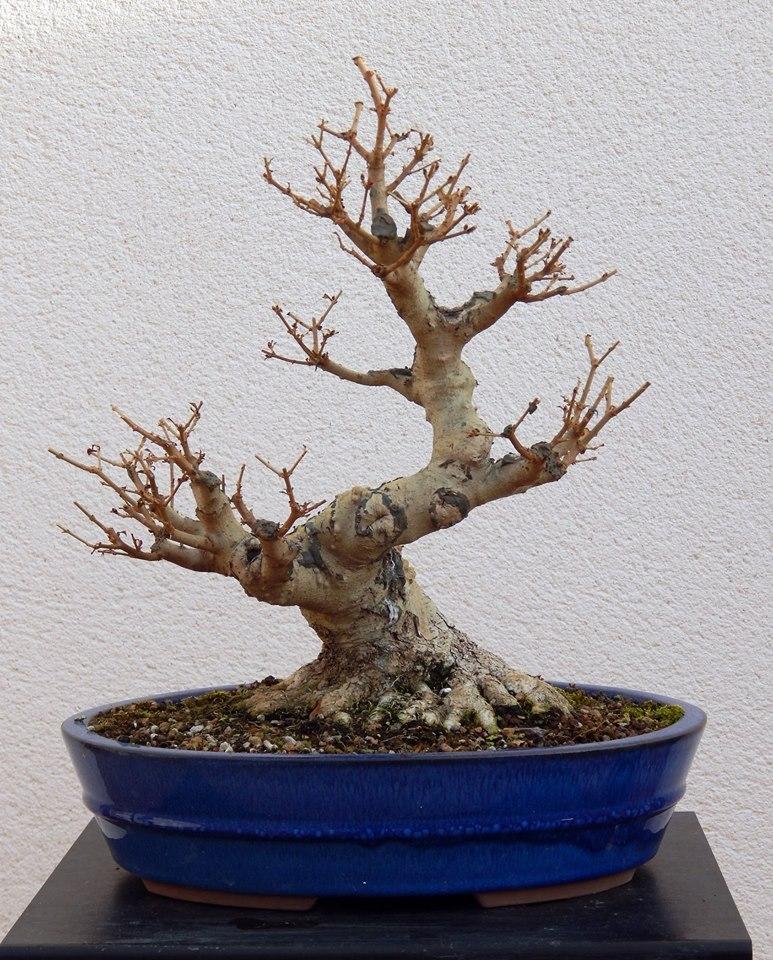 Ligustrum ovalifolium/ Aligustre de California, Oliveta 38254810