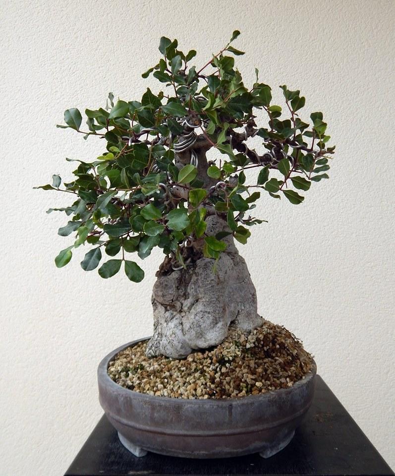 Algarrobo (Ceratonia siliqua ) 2 38755310