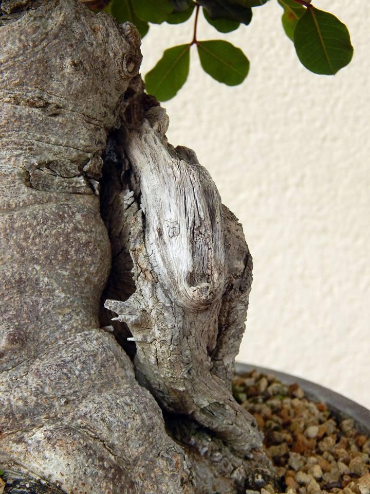 Algarrobo (Ceratonia siliqua ) 2 38757610