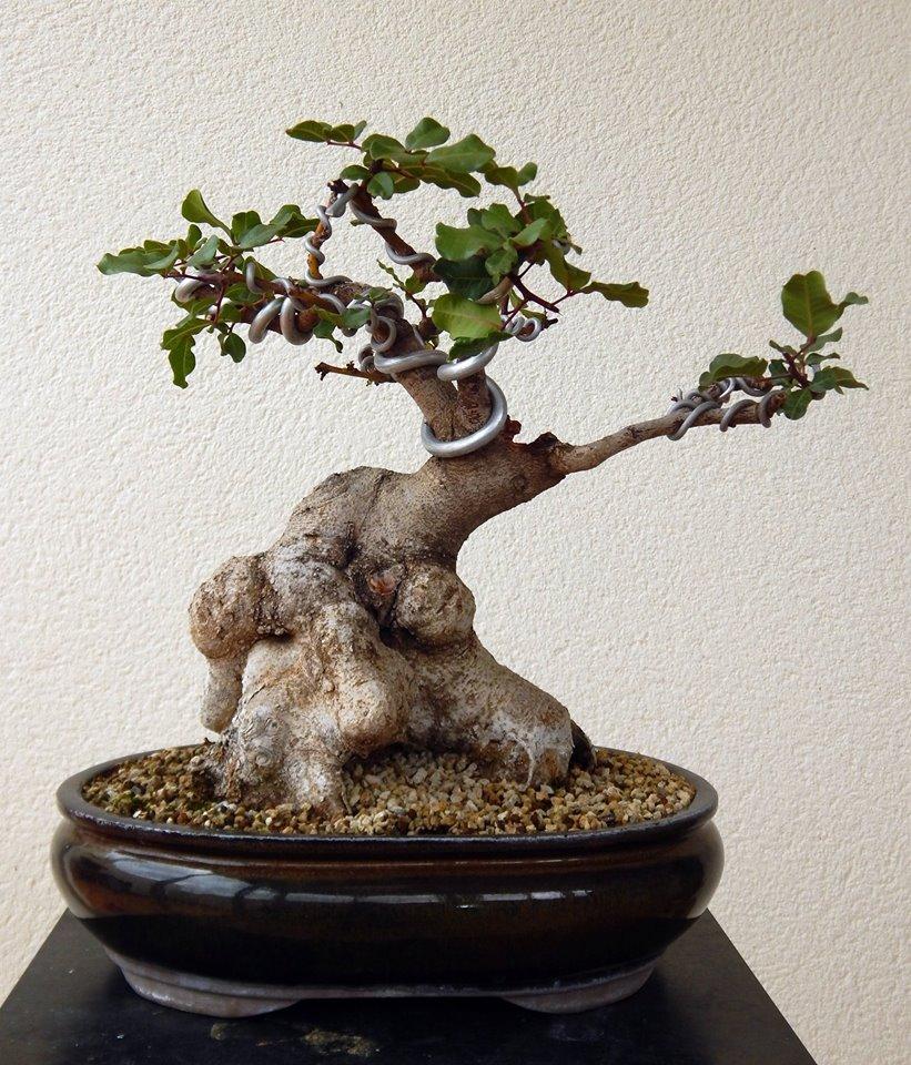 Algarrobo (Ceratonia siliqua) 1 38768410