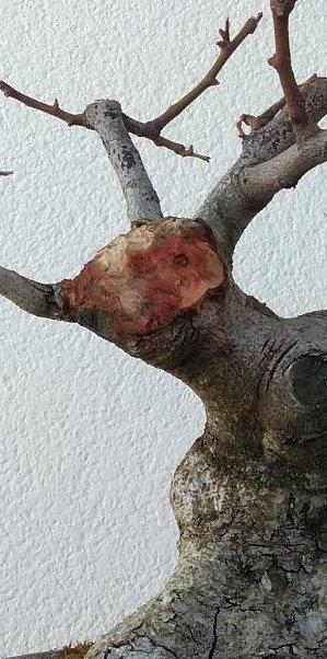 Algarrobo (Ceratonia siliqua) 1 38773210