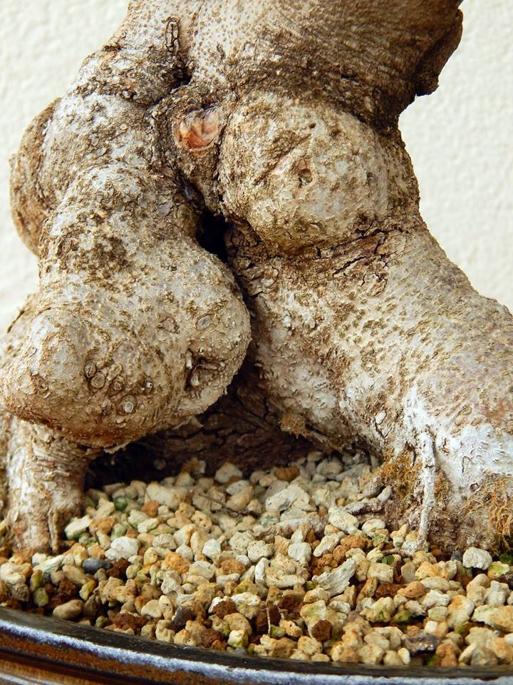 Algarrobo (Ceratonia siliqua) 1 38773910