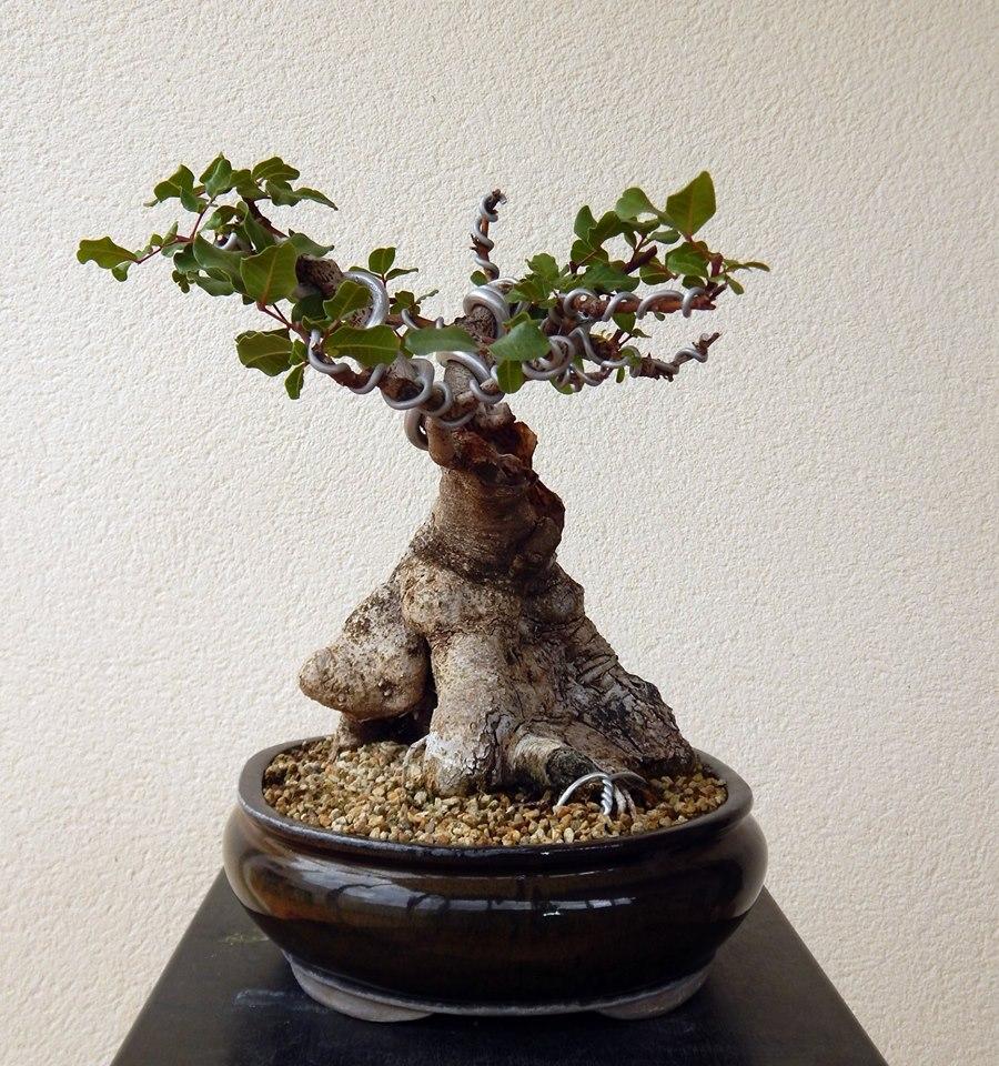 Algarrobo (Ceratonia siliqua) 1 38774810