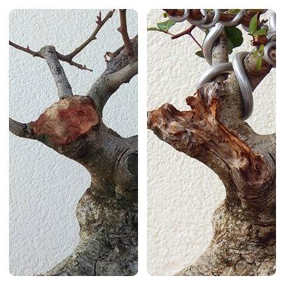 Algarrobo (Ceratonia siliqua) 1 38779910
