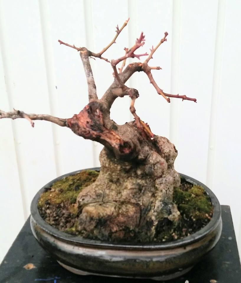 Algarrobo (Ceratonia siliqua) 1 38802810