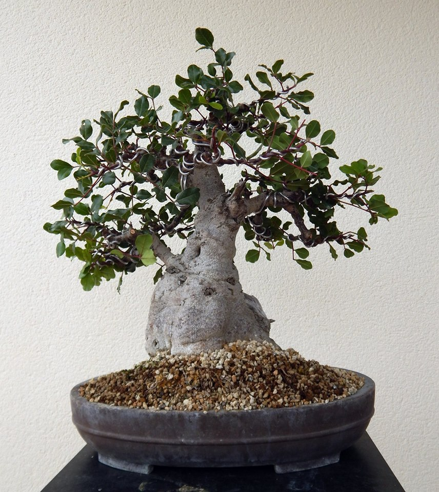 Algarrobo (Ceratonia siliqua ) 2 38813710