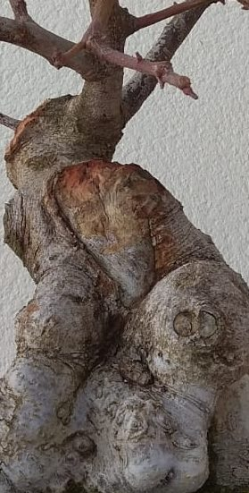 Algarrobo (Ceratonia siliqua) 1 38824910