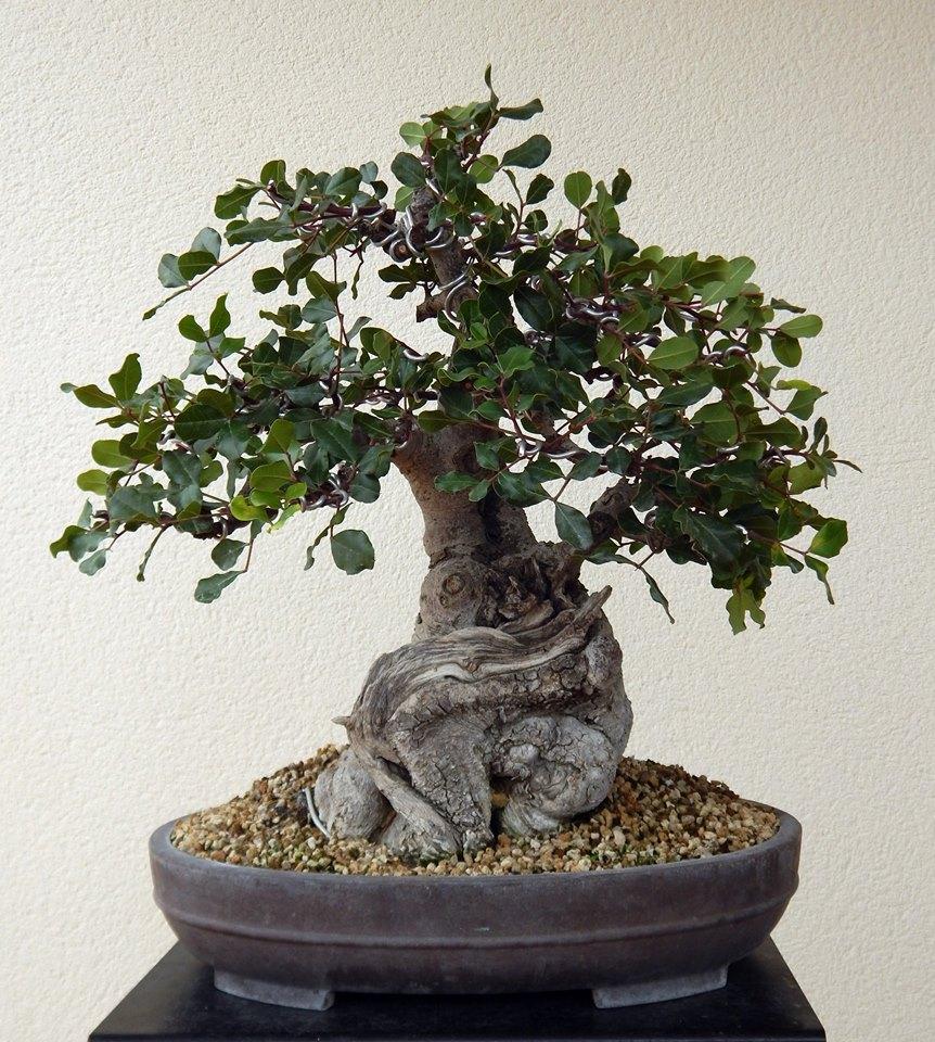 Algarrobo (Ceratonia siliqua ) 2 38834110
