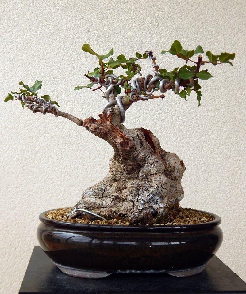 Algarrobo (Ceratonia siliqua) 1 38836010