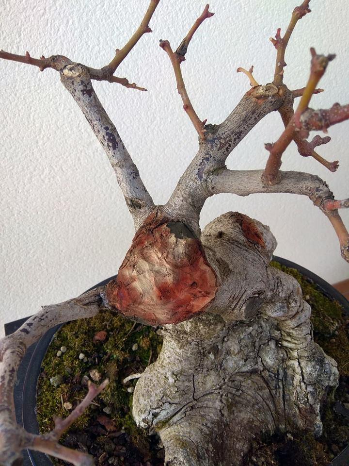 Algarrobo (Ceratonia siliqua) 1 38855410