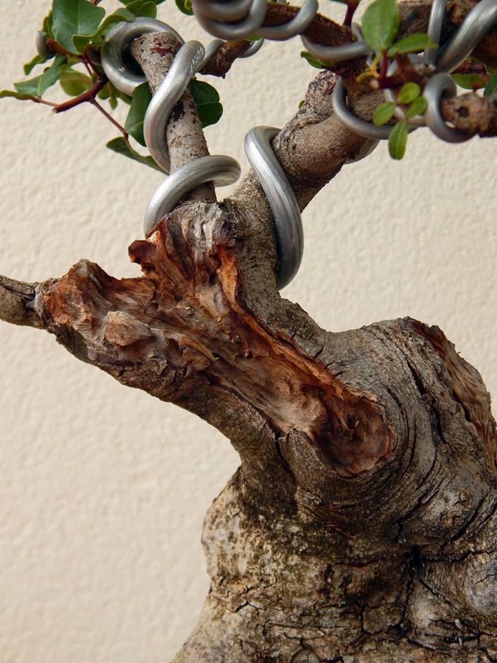 Algarrobo (Ceratonia siliqua) 1 38861310