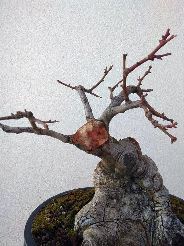 Algarrobo (Ceratonia siliqua) 1 38861311